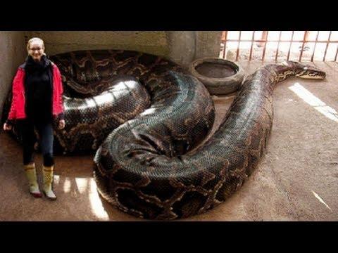 World's Longest Snakes! EP. 424 : SnakeBytesTV : AnimalBytesTV