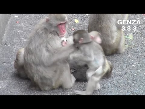 Baby monkey not drink the breast milk of mom