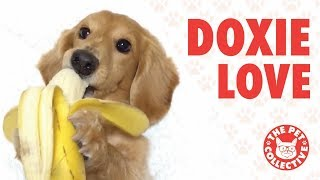 Breed All About It!   Cute Dachshund Videos