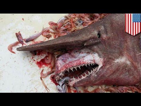 Nelayan menangkap hiu Goblin langka dan mengerikan - Tomonews
