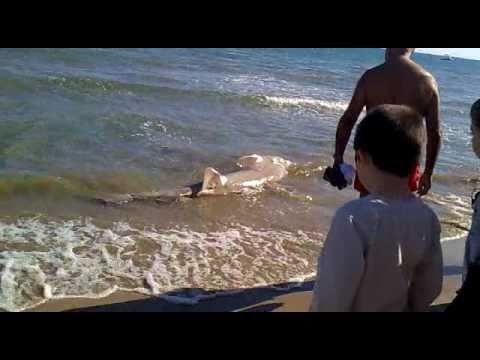 Tiburon en la orilla de Cullera
