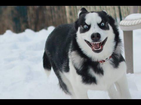 Husky Siberiano Los perros más Chistosos 2015. Videos de perros divertidos