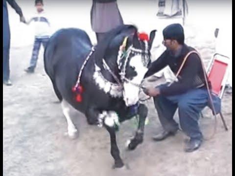 Harchahal Horse dancing maila sakrila sarai alamgir March 2012.part 3 3