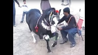 Harchahal Horse dancing maila sakrila sarai alamgir March 2012.part 3/3