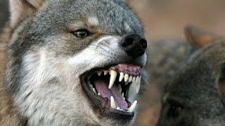 وثائقى أنثى الذئاب ملكة يلوستون عالم الحيوانات المفترسة