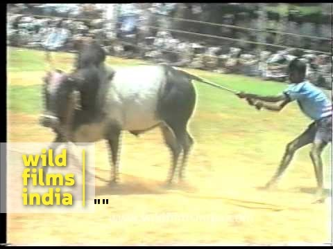 Xxx Mp4 The Great Indian Bull Fight Or Bull Taming 3gp Sex