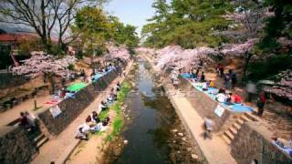 HD Timelapse movie in spring cherry blossom season