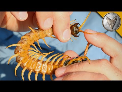 Centipede Bite Worse Than ALL Stings