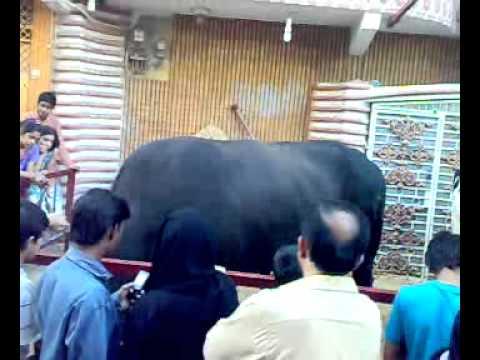 Roshan Bagh Bulls 2010 4 bulls 50 75 Lacs