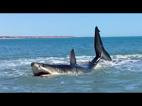Xxx Mp4 Pearson Brothers Winery Films 15ft Great White Shark And They Also Make A Great White Wine 3gp Sex