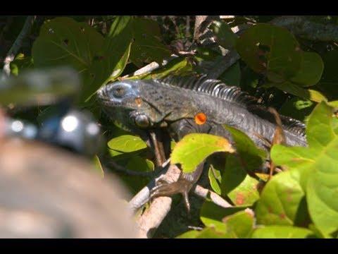 Xxx Mp4 A Blow Gun Hunt For Florida S Giant Iguanas 3gp Sex