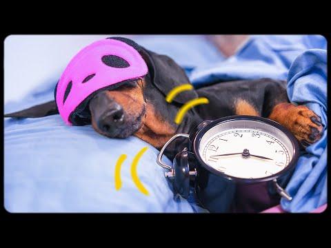 Xxx Mp4 Dog Morning Routine Funny Dachshund Video 3gp Sex