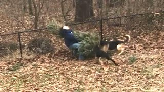 Dogs Won't Let Owner Throw Out Family's Christmas Tree