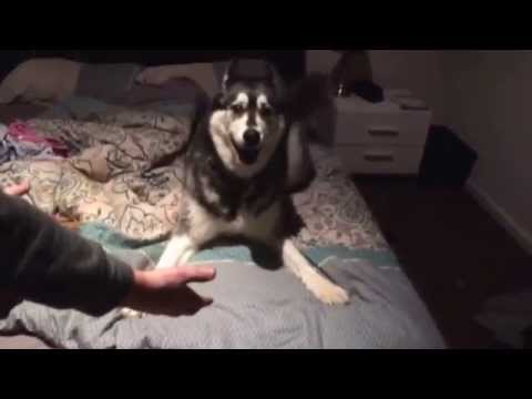 Angry husky telling us off for leaving him