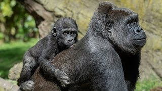 Gorilla and Baby Video - Astonishing new footage shows gorilla 'PROTECTING' boy