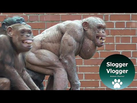 The Clash Of The Hairless Chimps