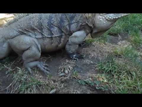 Only Voice Trained Giant  Iguana in the World !!