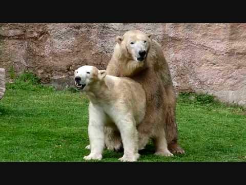 Bei den Eisbären Vera und Felix liegt WAS in der Luft ; Mai 2010 Tiergarten Nürnberg