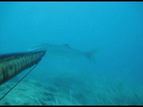 zıpkınla kofana avı 7kg large blue fish hunt