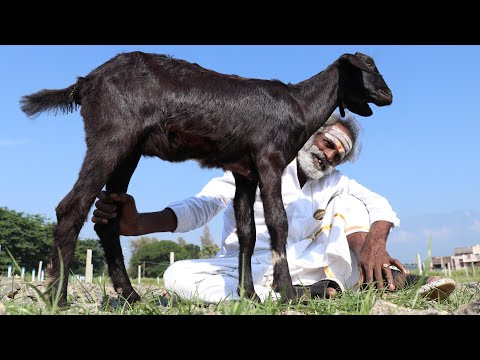 Full GOAT!!! Grilled Goat cook in different way / My daddy Arumugam / Village food factory