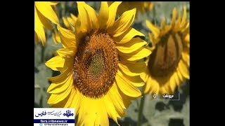 Iran Sunflowers agriculture land field, Marvdasht county كشتزار گل آفتابگردان مرودشت ايران