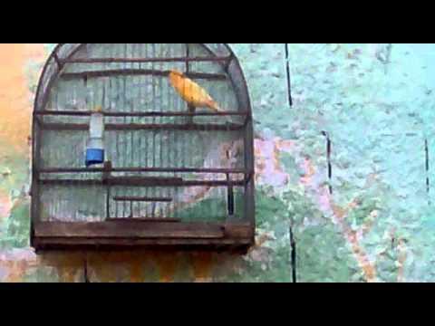 canario cenoura cantador