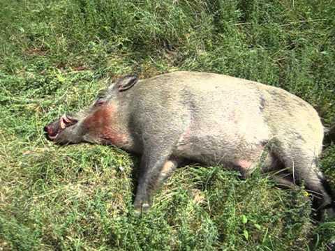 лов � а диво прасе Yuseinka Ribarq Chernoochene