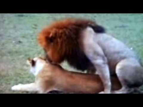 Xxx Mp4 Mating Of Animals And Zebra Mating 3gp Sex