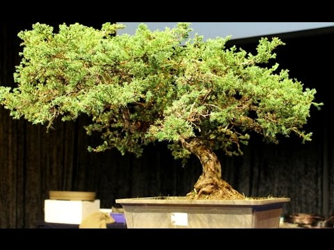 Bonsai Specialist on the Gold Coast