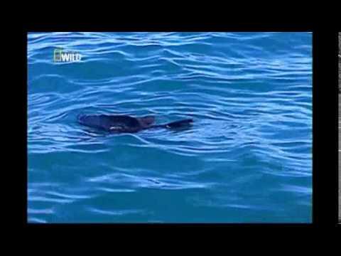 O Tubarão Branco e Crocodilo Documetario Ataque Animal