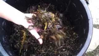 How to make Liquid Fertiliser with Seaweed - A Permaculture Video