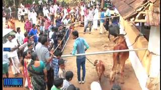 Manikyam, the shortes cow in the world