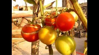 زراعة الطماطم وتقليمها لاعطاء بندورة حمراء على السطح How to grow tomatoes