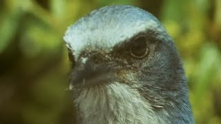Birds Stealing From Other Birds | Trials Of Life | BBC Earth