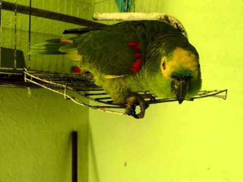 Papagaio falante