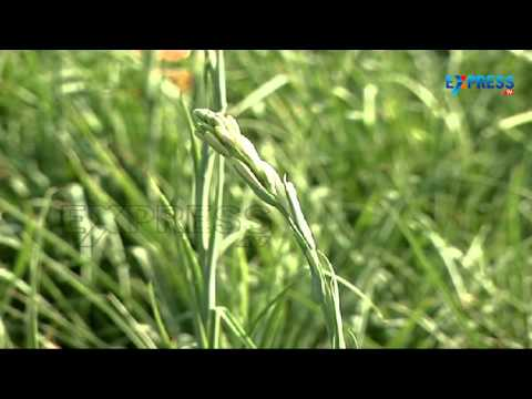 Lily cultivation - Success Story - Paadi Pantalu