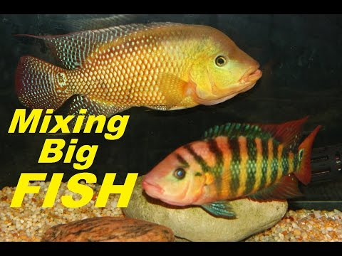 HOW TO MIX BIG BAD AGGRESSIVE AQUARIUM FISH FOR BREEDING