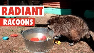 Radiant Raccoons   Funny Raccoon Video Compilation 2017