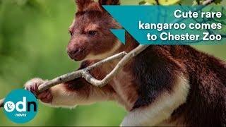 Cute rare kangaroo comes to Chester Zoo