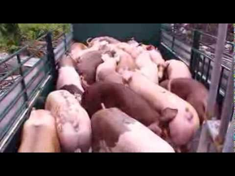 Pig Farm Documentary by OneProduction