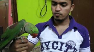 speaking india parrot
