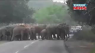 Transport Service Interrupted As Elephants Blocked Road In Dhenkanal