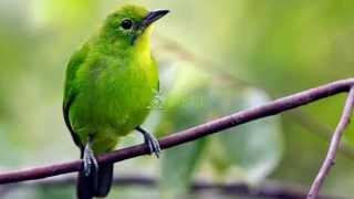 Suara Burung Masteran Cucak Hijau Mini Variasi 1 MP3