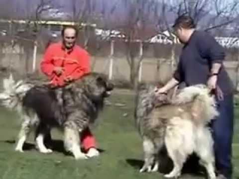 Kafkas Çoban Köpeği