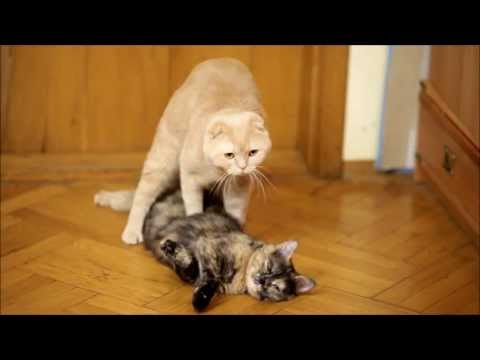 Cats mating. Cat