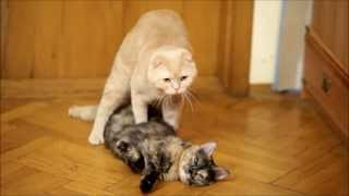 "Cats mating. Cat ""revives"" and mates his girlfriend."