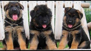 Funniest & Cutest German Shepherd Compilation 2017 - Funny Dogs Videos