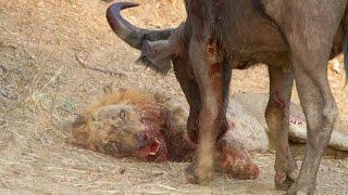Wildlife of lions - Animal world full movie hd - Lion vs Buffalo