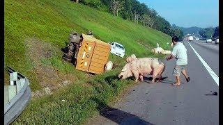 Kecoh babi 'berkeliaran' di lebuh raya