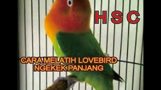 Cara Melatih Lovebird Ngekek Panjang Download Mp3 Mp4 3GP HD Video